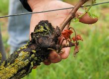 Les produits testés n'ont pas permis de mettre en évidence un effet contre le gel. Photo : Olivier Lévêque/Pixel6TM
