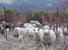 En période hivernale, il apparaît que les bois de vignes ne sont pas appétants pour les brebis. Il est toutefois conseillé de protéger les complants.