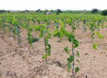 Variété étrangère résistantes aux maladies, plantées, depuis huit ans pour certaines, sur le Domaine de la Colombette, chez Vincent Pugibet, dans l'Hérault. Photos : S.Favre/Pixel image