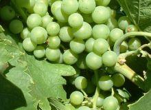 L'année 2016 est marquée par des dysfonctionnements nutritionnels de la vigne. Photo : Frayssinet