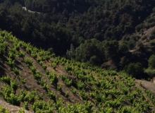 Vigne du clos Figueras en Espagne