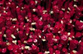 Améliorer la qualité du plant de vigne est l'objectif ultime du projet Origine, conduit par l'Inra de Bordeaux. © I. Aubert/Pixel image