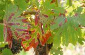 D'après une enquête nationale, l'esca est jugée extrêmement à très préoccupante par 58% des viticulteurs, et plus préoccupante que l'oïdium et le mildiou. © S. Simonin/Pixel image