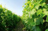 La couleur des feuilles peut donner une indication du statut azoté de la vigne, mais pas seulement! D'autres facteurs peuvent intervenir, comme les carences ou les maladies. Photo : R. Rapp/Pixel Image