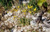 Dans les vignes de France, 80% de la flore présente est commune à toutes les régions et 20% représentent des spécificités régionales. Le crépis fétide par exemple (photo) n'est pas présent en Alsace, Champagne et dans le Val de Loire, il peut en revanche être trouvé en Bourgogne et dans la vallée du Rhône. Photos: E. Thomas / Pixel image