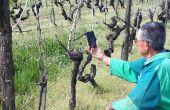 Par SMS, Facetime, Whatsapp, le conseil apporté aux vignerons continue d'être délivré (Nathalie Favre)