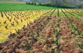 La parcelle de gamay a été divisée  en trois modalités: conventionnelle, bio  et raisonnée. © IFV/Sicarex Beaujolais