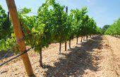 La fertirrigation permet d'apporter de l'eau et des fertilisants dilués. Sur vigne, sa mise en œuvre se fait généralement avec un goutteur par pied, avec un débit de 1,4l/h, et de plus en plus souvent par un système enterré. Photo : S.Favre/Pixel Image