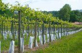 L'étude italienne a aussi montré que la composition de raisins issus de pieds sains et de pieds «recépés» ne présentent pas de différence significative. Photo : I. Aubert/Pixel Image