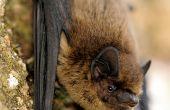 Une pipistrelle peut consommer un tiers de son poids en insectes en une nuit. Photo : L. Jouve/SHNA