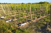 55 variétés de porte-greffe inscrites en France et à l'étranger ont été implantées sur une parcelle de l'Inra de Bordeaux. Objectif? Réactualiser ou acquérir des connaissances sur ce matériel végétal.  Photo : Inra Bordeaux