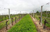 Les mélanges comme Revin Vigne légumineuses et graminées sont privilégiées pour des vignes vigoureuses, qui n'ont pas besoin d'un apport important en azote.  Photo : Julie Ferreyrolle/Semences de Provence