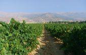 Vignoble de Château Kefraya au Liban, au pied du mont Barouk, situé dans la plaine de la Bekaa à plus de 1000mètres au-dessus de la Méditerranée. © château Kefraya