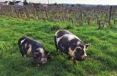 Au domaine de la Paonnerie (Loire-Atlantique), des moutons, des cochons kune-kune mais aussi des oies maîtrisent l'enherbement des vignes.