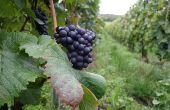 Pascal Doquet, président de l'Association des champagnes biologiques: «Diminuer les doses de cuivre fait partie de notre philosophie.» (Ci-contre, vigne en fin de campagne). CP :  Doquet