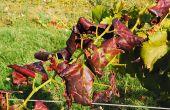 Dans les Bouches-du-Rhône, la chambre d'agriculture teste depuis plusieurs années des caméras multispectrales capables de détecter les symptômes de flavescence dorée.  Photo : S. Favre / Média et agriculture