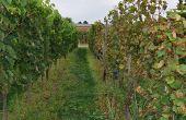 À Colmar, les co-obtentions possédant des résistances polygéniques au mildiou et à l'oïdium sont comparées à des cépages de vigne témoin. Photo : Inrae