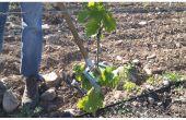 Pour enlever les pampres sur les pieds de vigne protégés par des pochons, Dabayma propose un outil très simple qui, d'après le constructeur, n'abîme pas les ceps. Photos : Dabayma