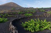 Le vignoble de Lanzarote aux îles Canaries fait partie de la grande famille des vins dits «volcaniques». Suzanne Plumette/adobe stock