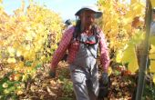 Les vignerons alsaciens vendanges en tenu d'apiculteur (D.Lefevbre)
