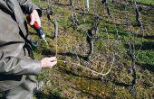 Depuis trois ans, certains vignerons de Saint-Nicolas-de-Bourgueil pratiquent la taille Guyot Poussard et observent désormais de plus beaux bois de taille grâce à la meilleure circulation de sève. © O.Lévêque/Pixel Image