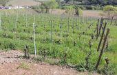 couvert féverole vigne