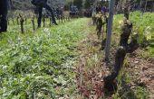 roulage féveroles dans les vignes