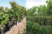 Parmi les deux options comparées: l'écimage sévère  sur la partie supérieure de la végétation (sur 50cm), et l'effeuillage dans une fenêtre de la partie distale de la végétation (40-50cm). Photo : IFV Sud-Ouest