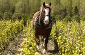 Entretien des vignes avec les chevaux. © Saxoph