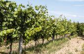 Le régime hydrique idéal de la vigne semble consister  en l'apparition d'une contrainte faible à modérée en cours de saison pour les blancs de qualité, et modérée à forte pour les rouges de garde, riches en composés phénoliques. Photo : fiore56 - Fotolia