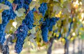 Les analyses réalisées sur des vins rouges issus de régions particulièrement chaudes, des merlot siciliens et des cabernet sauvignon californiens, ont mis en évidence des teneurs très élevées en MND, bien au-delà du seuil de perception de 62ng/l. Photo : bbourdages/Fotolia