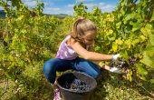 Pour bénéficier du dispositif Accre, le jeune viticulteur doit pendant au minimum deux ans reprendre ou créer une activité agricole sous forme d'entreprise individuelle ou de société et en exercer effectivement le contrôle. Photo : Eléonore H/Fotolia