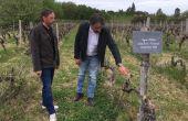 Xavier et Fabrice Guiberteau dans une vieille parcelle d'ugni-blanc du domaine Abel Lorton à Montendre (S.Favre/Média et Agriculture)