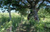 Vitiforesterie à Rosheim, vignoble Jean-Marc Dreyer. Credit photo : DL