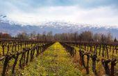 Les vignes du chateau Ksara en hiver après la taille