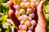 Le sauvignac est une nouvelle variété de vigne de cuve de raisins blancs inscrite et classée au catalogue de variétés de vigne française depuis 2020.