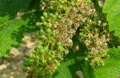 Comment prévenir les attaques de mildiou sur vigne ?  Credit Photo : BASF Agro