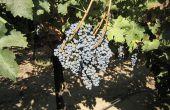 Une récolte homogène est indispensable pour l'obtention de vins de qualité, riches en composés phénoliques. Photos : DR