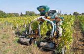 En muscadet, un groupe de vignerons implante des engrais verts depuis deux ans à l'aide d'un semoir autoconstruit (ici un semis  du 2 octobre). © Florent Banctel
