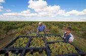 Les quinze républiques de l'URSS ont constitué une super puissance viticole de plus 1,3 million d'ha à son apogée dans les années 1970. (S.Badet)
