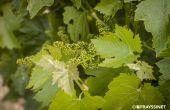Entretiens Vigne Vin Languedoc-Roussillon. organisés par l'IFV