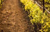 À quoi ressemblera la viticulture en 2050, et comment s'adaptera la filière au réchauffement climatique? Le projet Laccave de l'Inra cherche à donner des éléments de réponse à travers quatre prospectives. Photo : Alessio Orrù/Fotolia